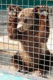 Cachorro de oso en una jaula Fotos de archivo libres de regalías