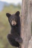 Cachorro de oso negro en árbol Fotografía de archivo libre de regalías