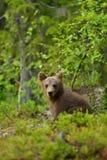 Cachorro de oso que se sienta en el bosque Imagen de archivo libre de regalías
