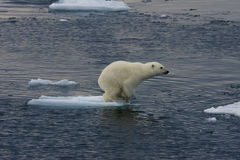 Cachorro de salto 1 del oso polar Foto de archivo libre de regalías