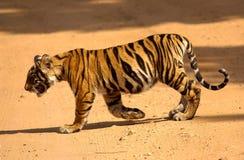 Cachorro de tigre Imagen de archivo