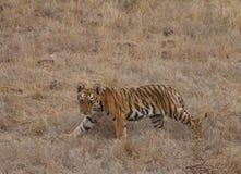 Cachorro de tigre foto de archivo libre de regalías