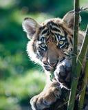Cachorro de tigre Imagenes de archivo