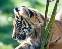 Cachorro de tigre Imagen de archivo libre de regalías