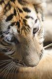 Cachorro de tigre Fotografía de archivo