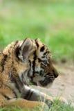 Cachorro de tigre siberiano Imágenes de archivo libres de regalías