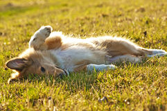 Cachorro del collie Imagenes de archivo
