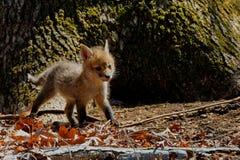 Cachorro del Fox Fotografía de archivo libre de regalías
