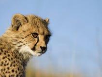Cachorro del guepardo Foto de archivo