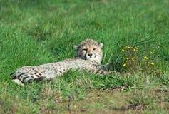 Cachorro del guepardo con las flores Imagen de archivo libre de regalías