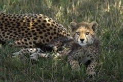Cachorro del guepardo en el Masai Mara Foto de archivo libre de regalías