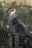 Cachorro del guepardo en el Masai Mara Imagen de archivo