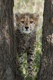 Cachorro del guepardo en el Masai Mara Imágenes de archivo libres de regalías