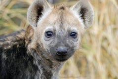 Cachorro del Hyena Fotografía de archivo libre de regalías