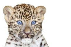 Cachorro del leopardo Imagen de archivo libre de regalías