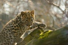Cachorro del leopardo de Amur en árbol Fotografía de archivo
