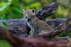Cachorro del leopardo, de tres meses, en Masai Mara, Kenia Fotos de archivo