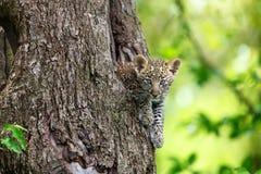 Cachorro del leopardo que mira hacia fuera de su agujero del árbol en Masai Mara, Kenia Fotografía de archivo libre de regalías