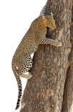 Cachorro del leopardo que sube abajo el árbol Fotografía de archivo