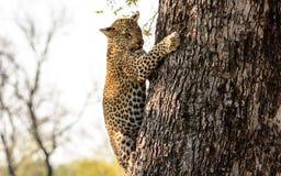 Cachorro del leopardo que sube abajo un árbol Fotografía de archivo