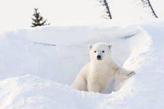 Cachorro del oso polar (maritimus del Ursus) Imagen de archivo libre de regalías