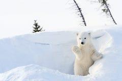 Cachorro del oso polar (maritimus del Ursus) que viene hacia fuera guarida Fotografía de archivo