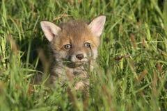 Cachorro del zorro rojo Foto de archivo libre de regalías
