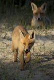 Cachorro del zorro rojo Fotos de archivo libres de regalías