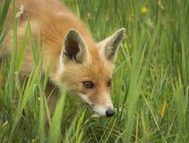 Cachorro del zorro rojo Fotos de archivo