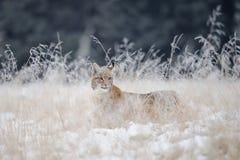 Cachorro eurasiático del lince ocultado en alta hierba amarilla con nieve Foto de archivo