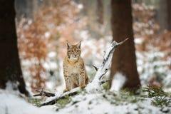Cachorro eurasiático del lince que se coloca en bosque colorido del invierno con nieve Imágenes de archivo libres de regalías