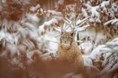 Cachorro eurasiático del lince que se coloca en bosque colorido del invierno con nieve Foto de archivo libre de regalías