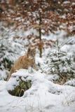 Cachorro eurasiático del lince que miente en bosque colorido del invierno con nieve Imagenes de archivo