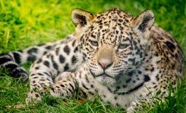 Cachorro joven del jaguar Imagen de archivo libre de regalías
