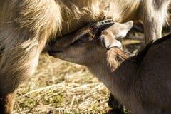 Cachorro lindo de la cabra del bebé en césped Fotografía de archivo