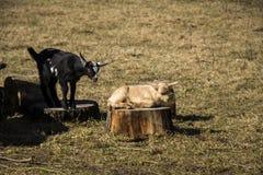 Cachorro lindo de la cabra del bebé en césped Fotos de archivo