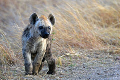 Cachorro manchado de la hiena (crocuta del Crocuta) foto de archivo