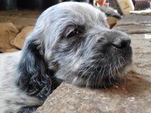 Cachorro Royalty Free Stock Image