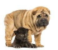 Cachorro negro del leopardo que se acuesta bajo situación del perrito del pei de Shar Imágenes de archivo libres de regalías