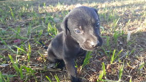 Cachorro preto filhote. Black Labmaraner puppy dog Stock Images