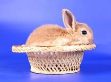 Cachorro rojo decorativo de un conejo Fotografía de archivo libre de regalías