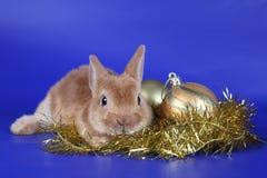 Cachorro rojo decorativo del conejo Fotografía de archivo libre de regalías