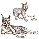 Cachorro rojo del gato, del rooikat, rojo o persa de Caracal del lince y del gatito ilustración del vector