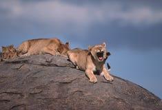 Cachorros de león Imagen de archivo libre de regalías