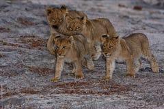 Cachorros de león Fotografía de archivo