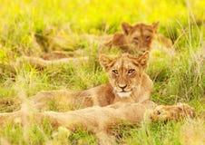 Cachorros de león africanos Foto de archivo libre de regalías