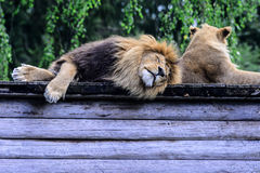 Cachorros de león africanos Fotos de archivo