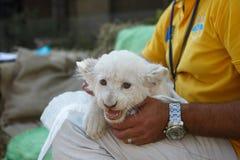 Cachorros de león blancos llevados en el parque zoológico Fotos de archivo libres de regalías