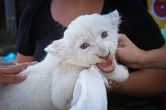 Cachorros de león blancos llevados en el parque zoológico Imagen de archivo