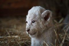 Cachorros de león blancos llevados en el parque zoológico Imagen de archivo libre de regalías